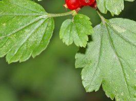Когда и как сушить листья смородины и малины для чая